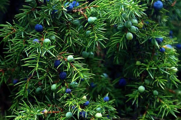 Blog Faunus Plant - Ienuparul, planta celor o mie de virtuti. Proprietati si beneficii