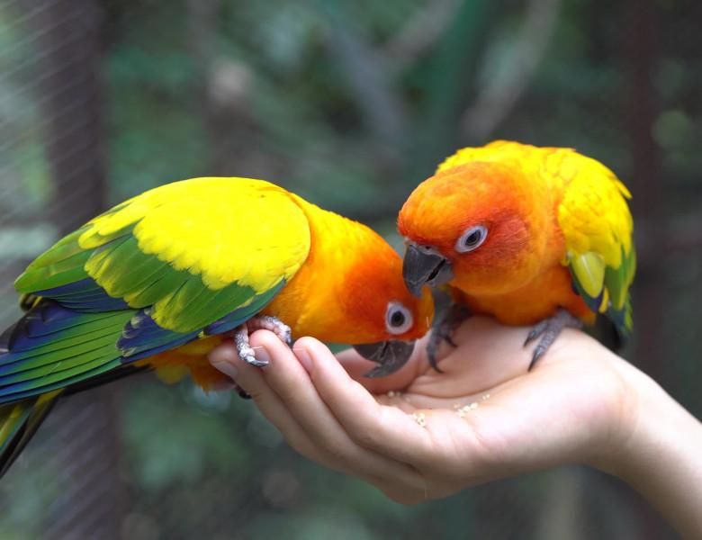 artroza într-un tratament cu papagal