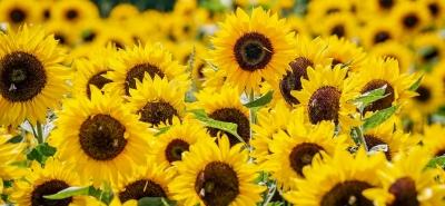 tratamentul articulației floarea-soarelui