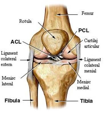 articulație sub genunchi)