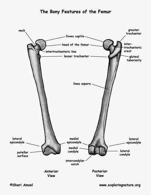 durere, plus articulația falangiană