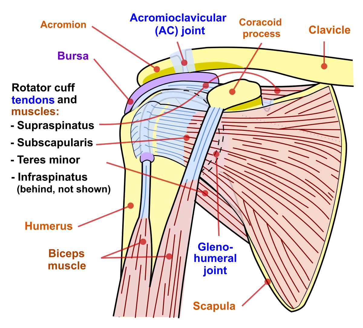 articulația umărului rănit nu ridica brațele)