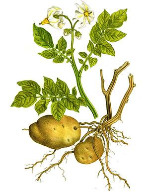 Tratamentul inflamației articulațiilor cartofului Tratamentul artritei cartofului