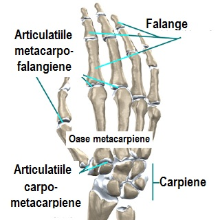 Articulatiile intermetacarpiene, metacarpo-falangiene si interfalangiene
