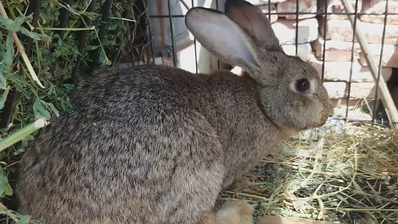 tratament articular la iepuri)