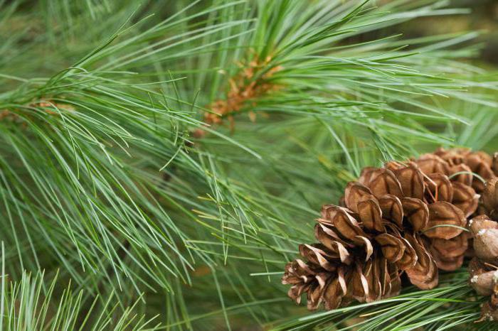 Tratament cu conuri de pin de artroză, Tratament cu conuri de pin în artroză