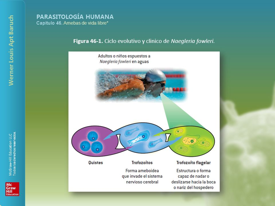 pregătire histologică a țesutului conjunctiv liber