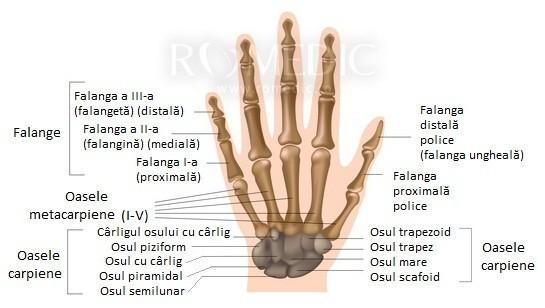 schelet lamprey format din cartilaj și țesut conjunctiv